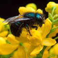 6 Facts About Native Bees