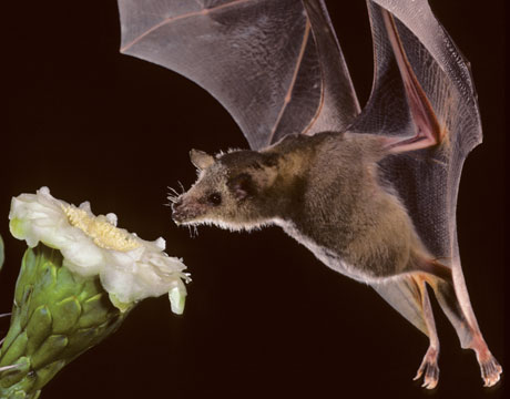 lesser long-nosed bat pollinating a cactus