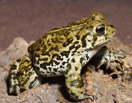 Boreal toad endangered amphibian species the daily green sciox Image collections