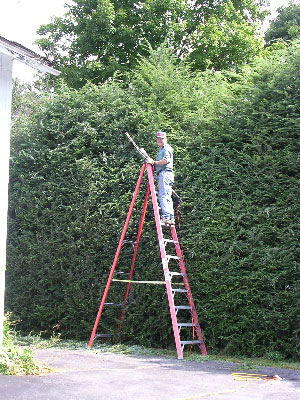 trimming a hedge of trees